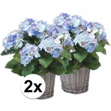 2x blauwe hortensia plant in mand 45 cm