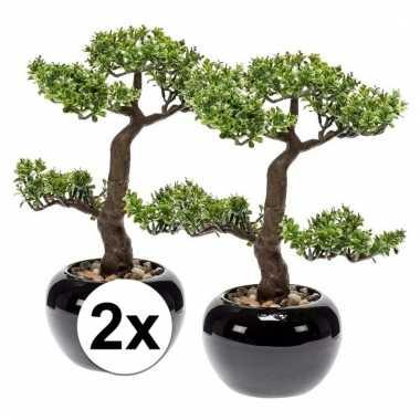 2x pilea bonsai kamerplanten 34 cm