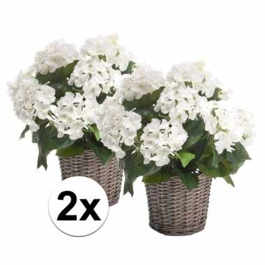 2x witte hortensia plant in mand 45 cm