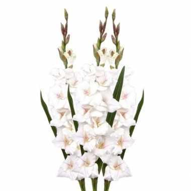 3x witte gladiolen 102 cm