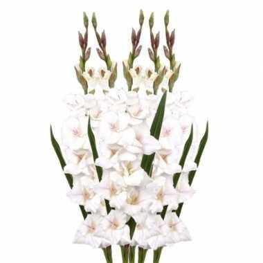 5x witte gladiolen 102 cm