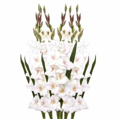 6x witte gladiolen 102 cm