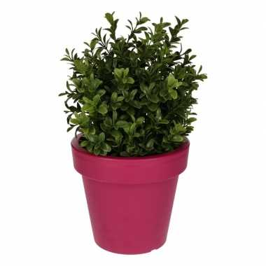 Buxus plant met fuchsia pot 31 cm