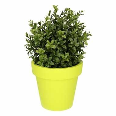 Buxus plant met limegroene 31 cm