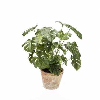 Monstera plant in terra cotta pot 50 cm
