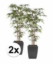2x bamboe promo plant in pot 150 cm