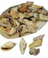 Grote schelp met punt schelpen