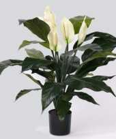 Lepelplant 75 cm